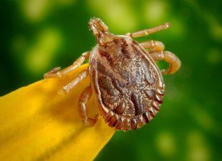 Wraz z rozpoczęciem sezonu letniego, częściej można spotkać kleszcze, które zamieszkują lasy i łąki. Choć uwielbiają wilgotne tereny, zarośnięte gęstymi zaroślami to w miastach również jesteśmy na nie narażeni. Kleszcze są bardzo wytrzymałe, bo potrafią przeżyć nawet dwa lata bez pożywienia. Pajęczaki, jakimi są kleszcze, atakują głównie zwierzęta, coraz częściej ludzi. Uwielbiają tereny wilgotne, gęste zarośla i krzewy, często ich skupiska znajdują się na paprociach. Niestety te groźne stworzenia można dotrzeć również w swoich ogrodach, wśród krzewów i traw, zwłaszcza w okresie wiosennym. Borelioza i kleszczowe zapalenie mózgu są najbardziej niebezpiecznymi chorobami po ukąszeniu przez kleszcza. Dlatego warto zabezpieczyć się, chroniąc swój ogród, a przy tym siebie i bliskich. Skąd się biorą kleszcze w ogrodach? Wybierając się na wycieczki do lasu bądź spacery z psem bardzo prawdopodobne jest, że można zabrać ze sobą takiego nieproszonego gościa do swojego ogrodu. Od wiosny do jesieni kleszcze są najbardziej aktywne, nie zapominając, że są bardzo odporne, a ciepłe zimy sprzyjają ich rozpowszechnianiu. Natomiast w okresie letnim, w upalne dni ich aktywność jest znikoma. Najczęstszą przyczyną bytowania kleszczy w naszych ogrodach jest przenoszenie ich z pola bądź lasu przez różne gryzonie m.in. myszy i szczury. Kleszcze niezwykle dobrze chwytają się psiej sierści i naszych ubrań. Właściciele ogrodów, którzy posiadają zwierzęta, takie jak psy i koty wychodzące na dwór są najbardziej narażeni na kleszcze. Oprócz posiadaczy zwierząt, równie narażeni na skupiska tych stworzonek są osoby, których domy położone są na wsiach, blisko lasów i łąk, w których takie osobniki występują. W tym przypadku warto w ciągu całego roku chronić swój ogród. Jak chronić swój ogród przed kleszczami? Na początku warto wprowadzić do swojego ogrodu rośliny, które odstraszają kleszcze. Jest to wrotycz pospolity, kocimiętka, rozmaryn lekarski, złocień dalmatyński i lawenda wąskolistna. Zaciemnion